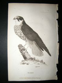Shaw C1810 Antique Bird Print. Hobby